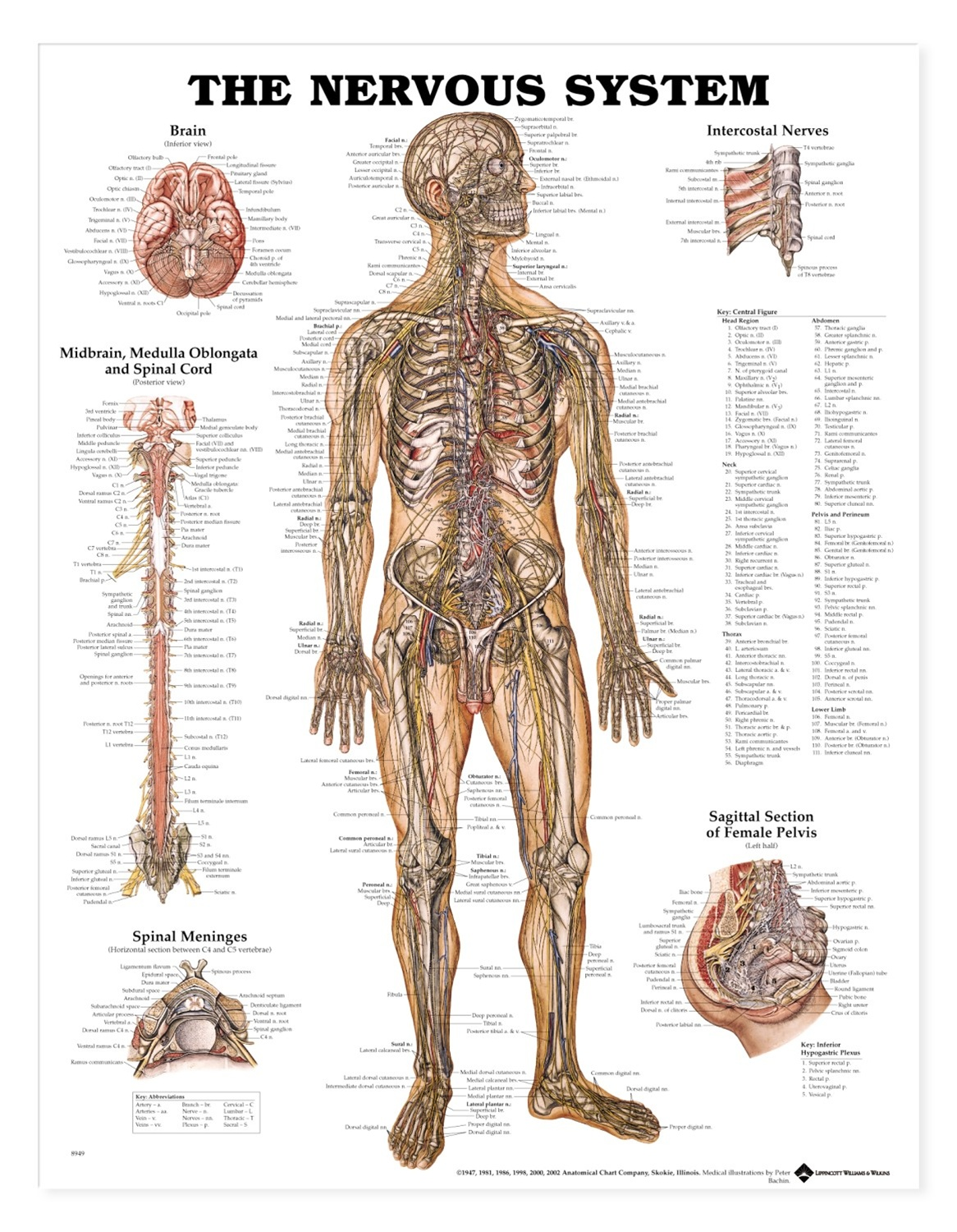 Human nervous system anatomical chart anatomy models and