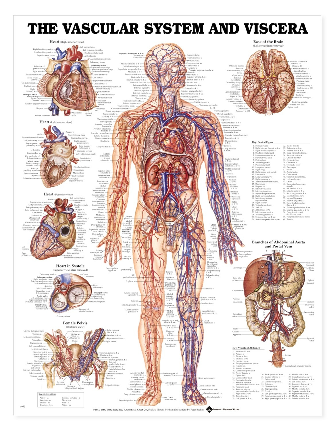 Vascular system and viscera anatomical chart anatomy models and