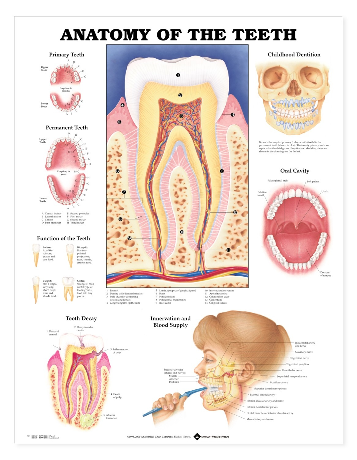 Dental Mouth Anatomy Diagram - Wiring Library •