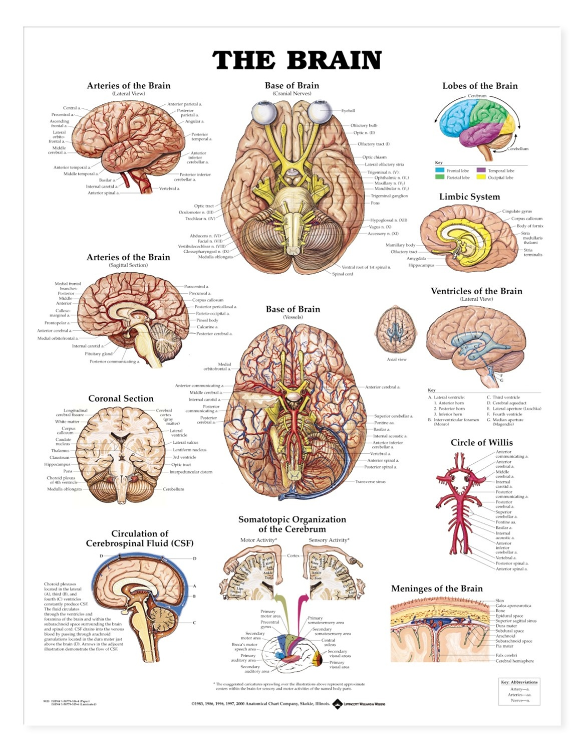 The Brain Anatomical Chart - Anatomy Models and Anatomical ... - photo#5