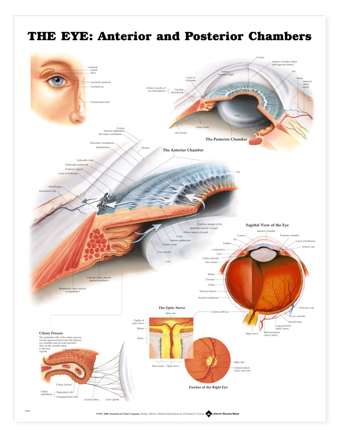 The Eye  Anterior and Posterior Chambers Anatomical ChartAnterior And Posterior Segment Of The Eye