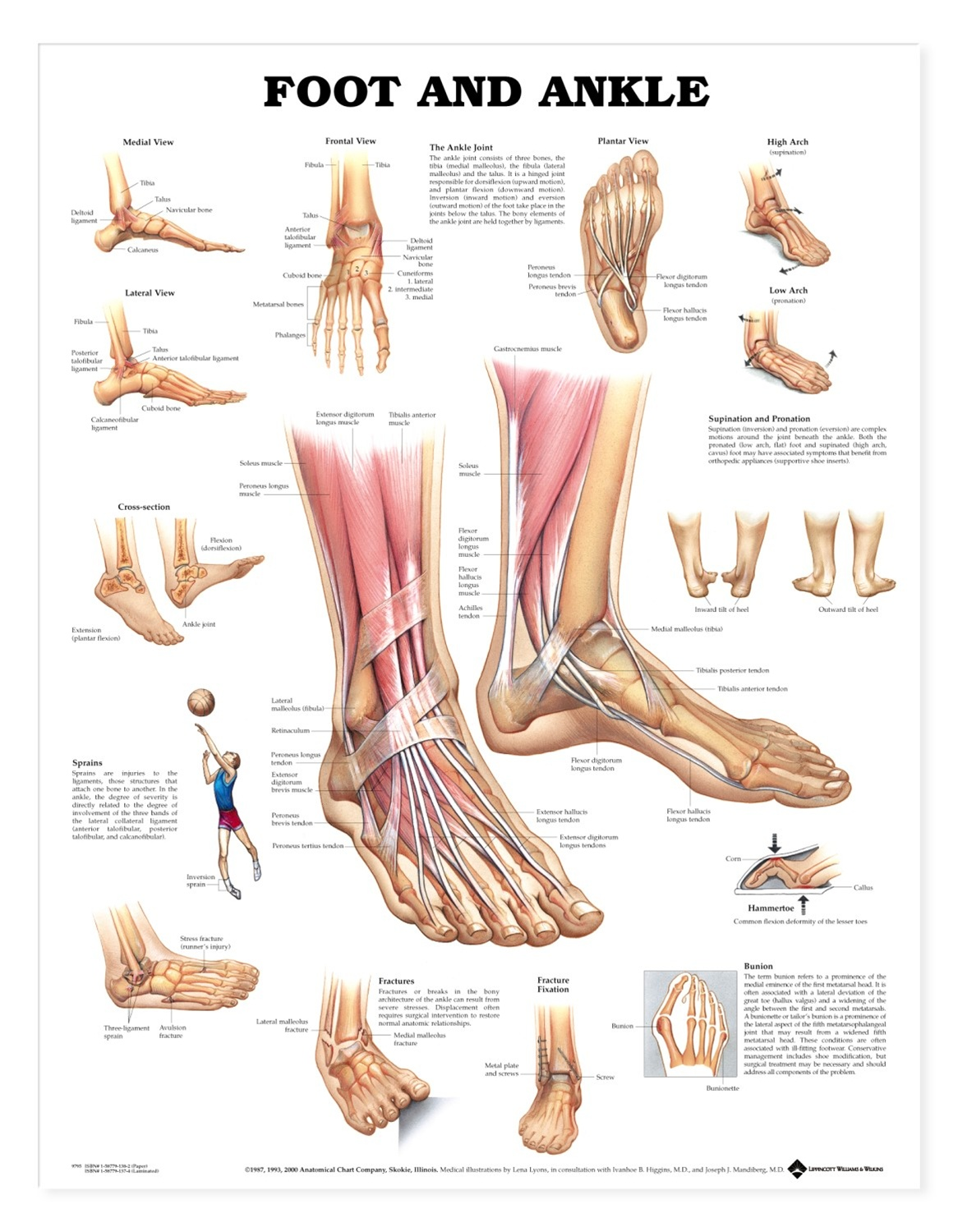foot and ankle anatomical chart anatomy models and. Black Bedroom Furniture Sets. Home Design Ideas