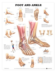 Foot and Ankle Anatomical Chart