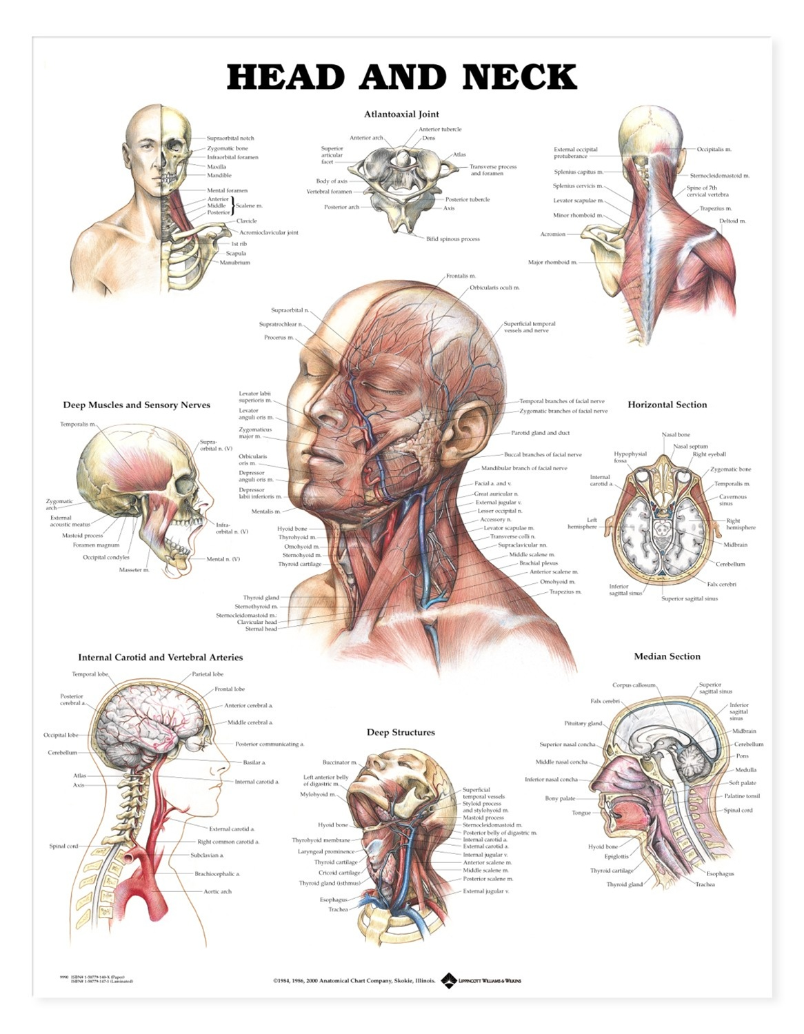 Anatomy of the neck and head