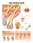 The Human Hair Anatomical Chart