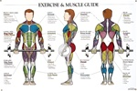 Exercise and Muscle Guide Anatomical Poster - Male