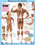 Blueprint for Health Your Muscles Anatomical Chart