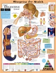 Blueprint for Health Your Digestive System Anatomical Chart