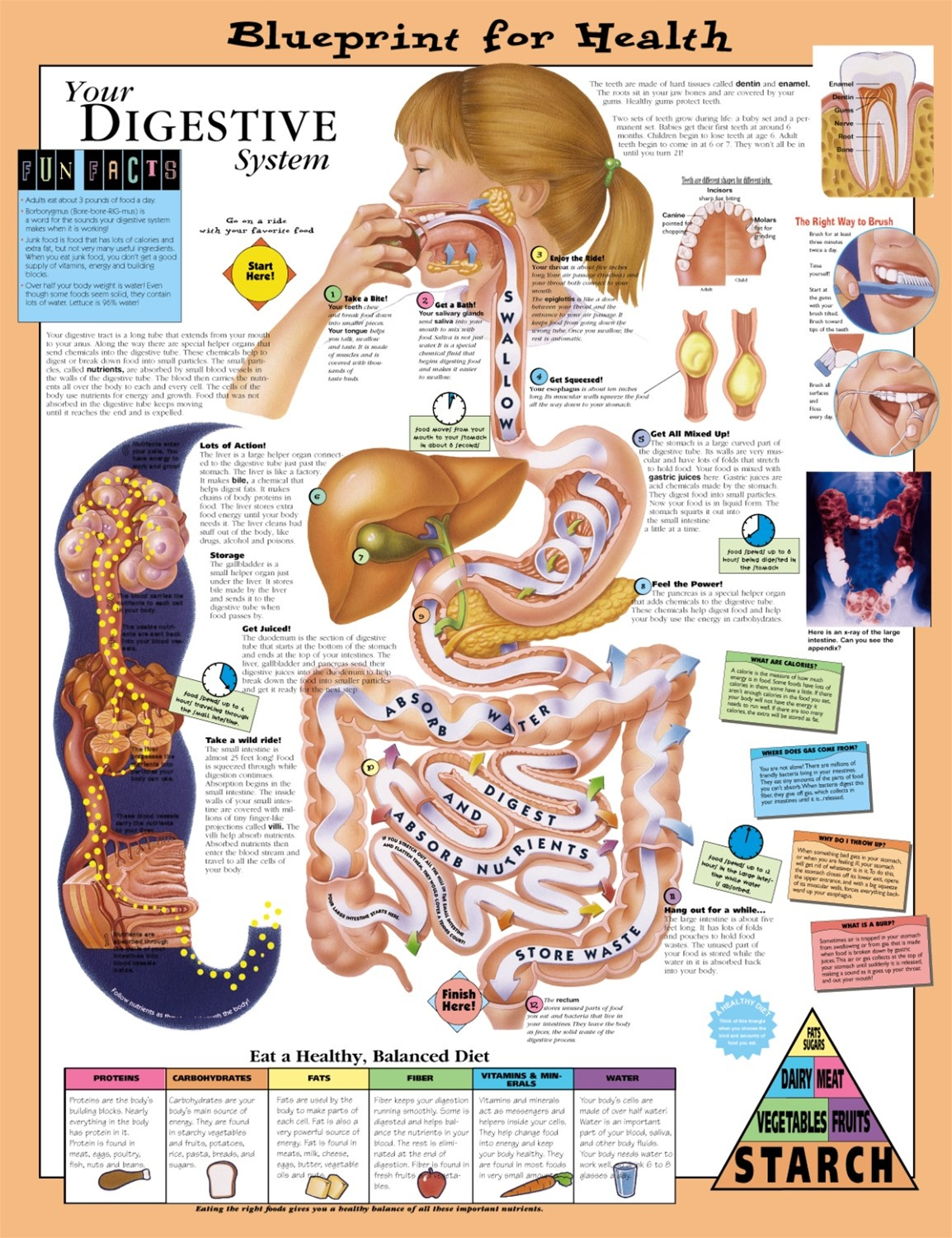 the function of the human digestive