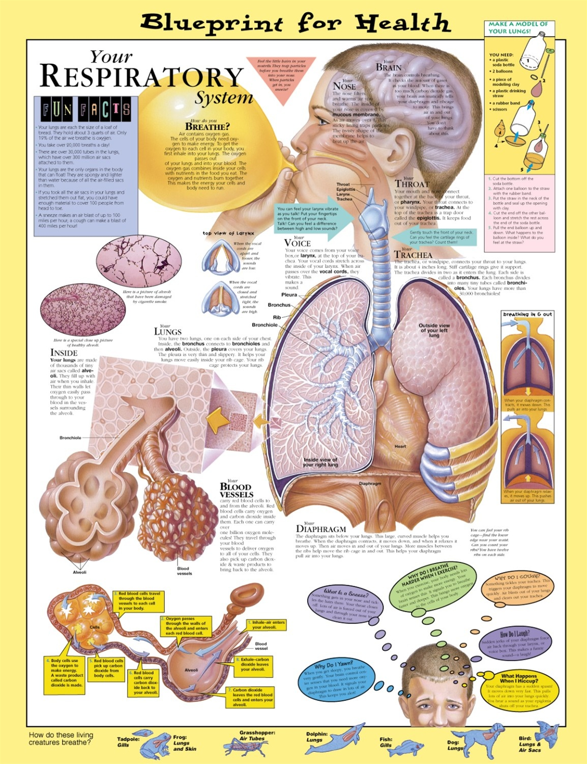 Blueprint for health your respiratory system anatomical chart blueprint for health your respiratory system anatomical chart laminated malvernweather Images
