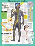 Blueprint for Health - Your Brain & Nerves - Anatomical Chart