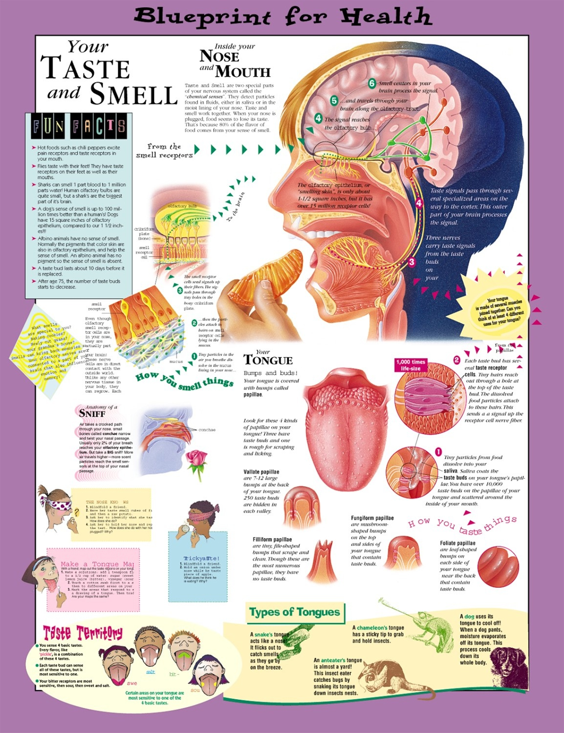 Blueprint for health your taste and smell anatomical chart blueprint for health your taste and smell anatomical chart malvernweather Images