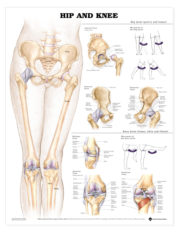 Lumbar Vertebrae Anatomy Showing Main Ligaments 2 Manual Guide