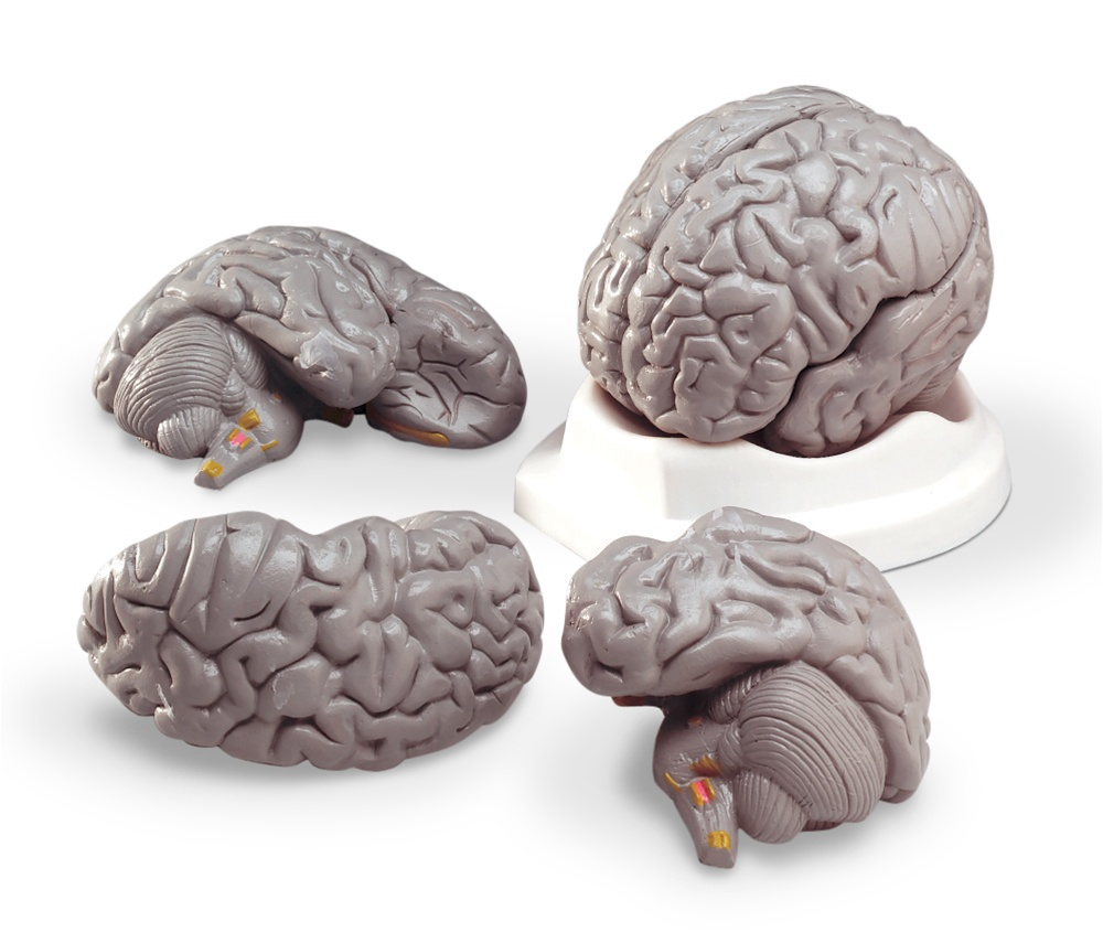 Brain anatomy models