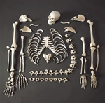 Disarticulated Budget Skeleton w/Skull