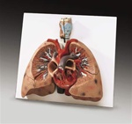 Lungs with Heart Anatomical Model
