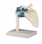 Shoulder Joint with Ligaments