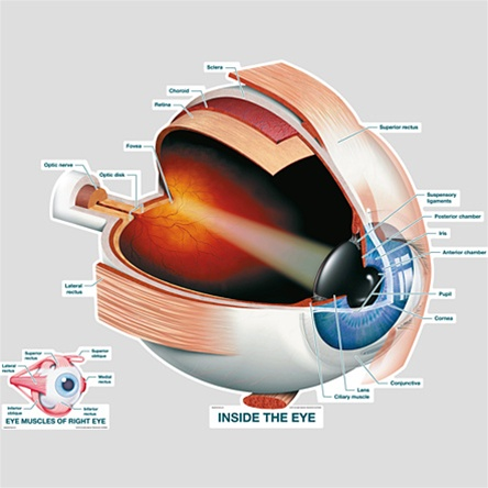Bodypartchart Inside The Eye Labeled Anatomical Charts