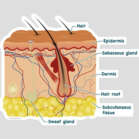 Bodypartchart simplified skin cross section labeled anatomical retail price 8999 ccuart Image collections