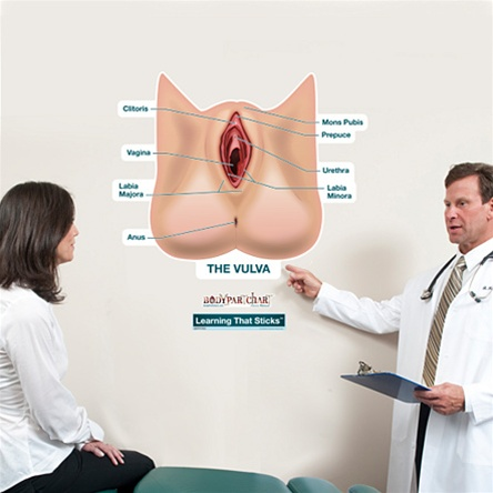 Picture of the vulva