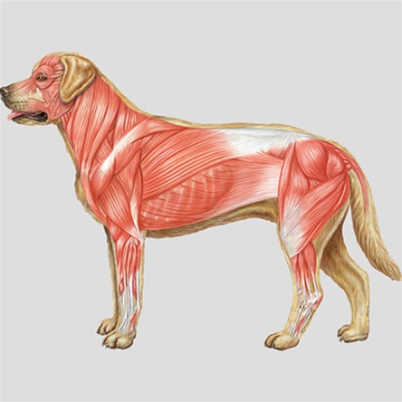 bodypartchart dog muscular system anatomical charts