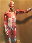 SOMSO Male Muscle Figure Half Life Size