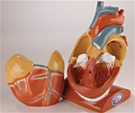Giant Heart with Pericardium and Diaphragm Anatomy Model
