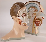 Five-Part Bisected Anatomical Head Model