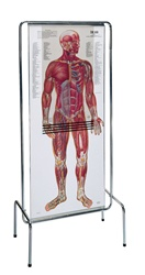 Thin Man Giant Anatomy Overlay Anatomical Chart