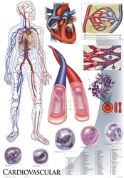 "Oversize Cardiovascular System Wall Chart - 36"" x 44"""