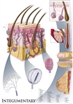 "Oversize Integumentary System Wall Chart - 36"" x 44"""