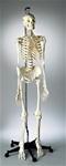 Premier Academic Skeleton Model, Hanging Mount