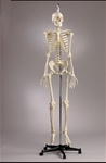 Premier Academic Skeleton Model, Female Pelvis, Hanging Mount