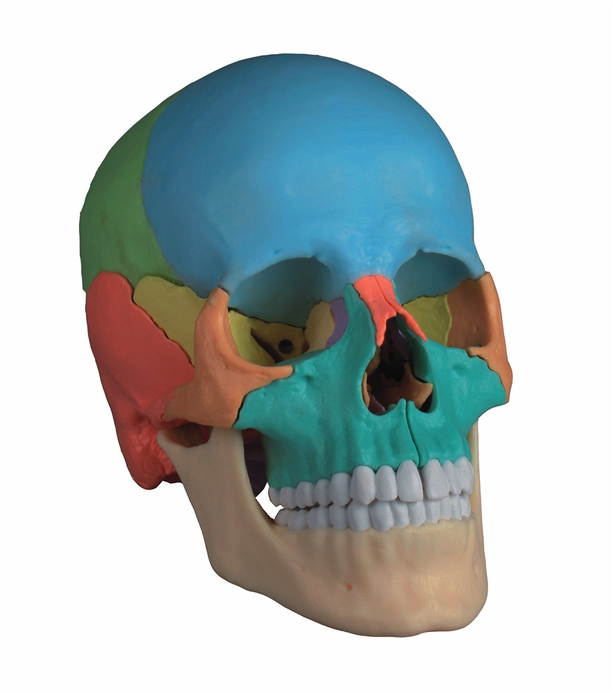 New Didactic Adult Human Skull Magnetic 22 Part