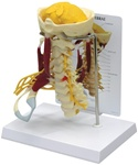 Deluxe Muscled Cervical Vertebrae Model w/ Anatomy Education Card