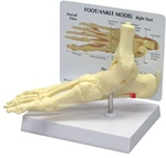 Foot and Ankle Model