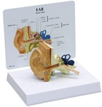 Human Ear Anatomy Model w/ Patient Education Card