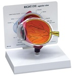Cutaway Eye Model