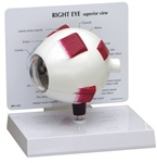 Oversized Right Eye Anatomy Model