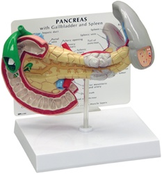 Pancreas/Gallbladder/Spleen Anatomy Model