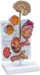 Hypertension Model - mini brain, eye, heart, kidney and artery models (patient education card included)