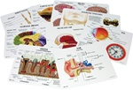 Human Anatomy Education Card Set