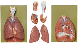 Lungs With Heart, Diaphragm and Larynx Model