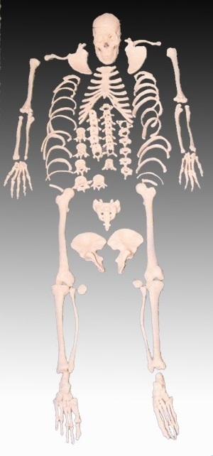 life size human skeleton model - disarticulated - skeleton models, Skeleton