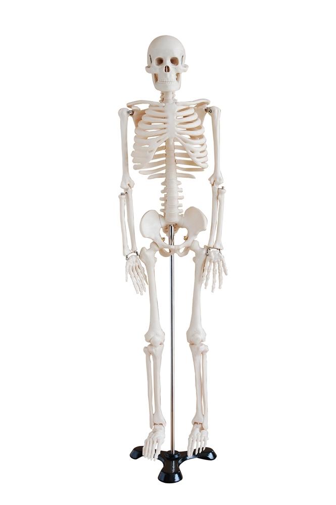 mini human skeleton model on metal base - skeleton models and, Skeleton