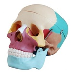 Didactic Life Size Skull - 3 part