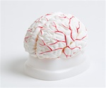 Brain Model with Arteries, 8 part