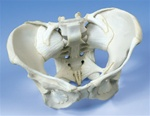 Ligamented Female Pelvis Model