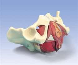 Female Pelvis and Pelvic Floor Model, 5 part