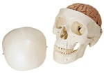 Classic-Skull with Brain Model, 8 part
